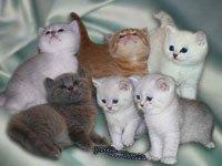 Как выбрать котенка, британская порода. Источник http://drug2.ru