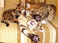 Бенгальская порода. Источник http://www.bengal.spb.ru
