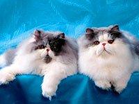 Персидская порода. Источник http://zooclub.ru