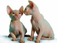 Как выбрать котенка, порода сфинкс. Источник http://sphynxik.narod.ru