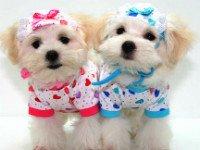 Используйте детскую одежду для маленькой собаки. Источник http://photo-bugs.com