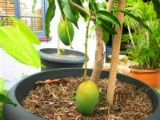 Как вырастить манго из косточки? ПРОСТО!